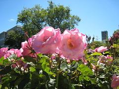 Roses Against Sky