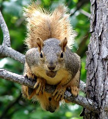 Squirrel (EcoSnake) Tags: tree animals squirrel wildlife nuts idaho boise naturecenter naturesfinest easternfoxsquirrel idahofishandgame