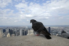 Looking down the Empire State Building (Poupetta) Tags: newyorkcity usa birds manhattan dove empirestatebuilding thebigapple