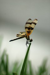Dragonfly Shines (lynne bernay-roman) Tags: light grass wings dragonfly perched blade fragile soe luminescence irridescence anawesomeshot impressedbeauty macromarvels damniwishidtakenthat