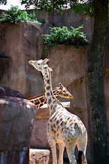 Giraffes in Love?