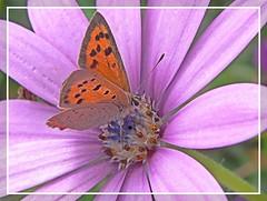 Cuivré sur osteospermum (zogt2000 (No Video)) Tags: flower fleur butterfly papillon finistère osteospermum smallcopper supershot naturewatcher buzznbugz theperfectphotographer cuivré ahqmacro