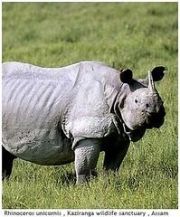 20071228165057Rhinoceros-unicornis-,-Kaziranga-wildlife-sanctuary-,-Assam (indusleo) Tags: india temple hindu indianflag chiranjeevi suryanaidus