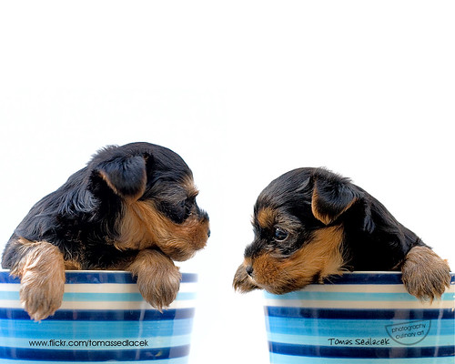 free wallpaper of puppies. free pc wallpaper 7 quot;puppiesquot;