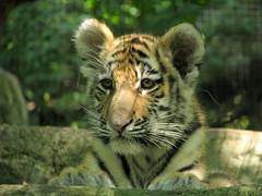 Amur Tiger Cub Pittsburgh Zoo