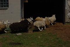 sheep run (devin mcdonald) Tags: sheep farm harvest ecovillage