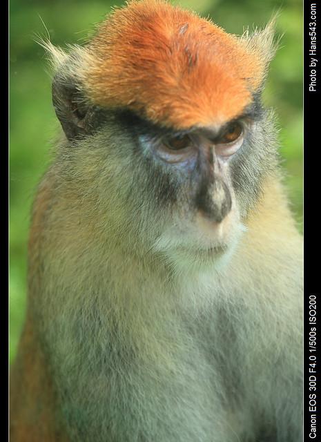 「不是說馬上好的嗎?」- 紅猴_Patas Monkey_03