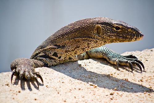 Lizard at Kruger