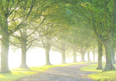 Avenue early (algo) Tags: road autumn light england mist grass misty fog photography topf50 bravo searchthebest branches topv1111 topv999 topv222 trunks avenue algo topv3333 topf100 mists 100f theavenue halton photographia 50f fpg golddragon theunforgettablepictures 200850plusfaves damniwishidtakenthat