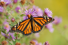 Wildflowers and butterflies (_Robert C_) Tags: nyc orange white ny black green butterfly d50 wings purple bokeh sigma explore spots monarch wildflowers statenisland aster 170500mm mountloretto robertcatalano