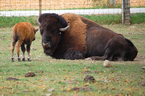 Bison calf and adult