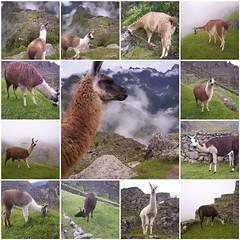 Llamas en Machu Picchu (Grabby Walls) Tags: friends peru cuzco america fdsflickrtoys cusco south per lama machupicchu viaggi viaggio soe llamas sud viaggiare qosqo colourartaward goldstaraward grabbywalls dragondaggerphoto