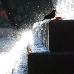 urban shower (Super G) Tags: sanfrancisco bird fountain bokeh yerbabuena soe tsk hbw thenerve natureycrap happybokehwednesday iwasjusttryingtophotographthefountainandthisbirdcomesalong natureisntcrap