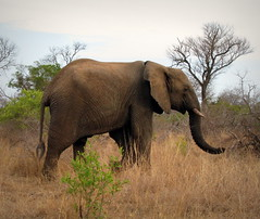 Elephant  Walking (Colorado Sands) Tags: africa wild elephant nature animal southafrica african wildlife south safari afrika nationalparks za sdafrika krugernationalpark kruger limpopo bigfive southafrican knp sudafrica elefantes  loxodontaafricana afriquedusud lafrique zuidafrika photoanimalire limpopoprovince sandraleidholdt sudafrika surfrica afrikasafari leidholdt sandyleidholdt blinkagain bestofblinkwinner