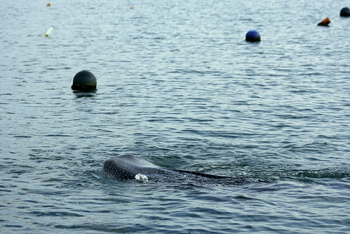 whale shark in Dompu