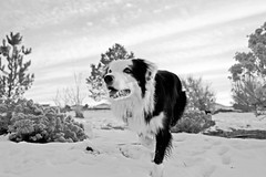 B&W Winter Scene (Anda74) Tags: winter bw snow colorado wideangle bordercollie ouzo canonef2470mmf28lusm stalking newlens bwbeauty pioneerwomansactions