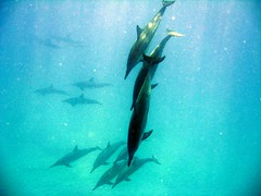dolphins at electric beach (tkmrabbits) Tags: dolphins