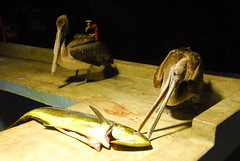 Pelicans at Night