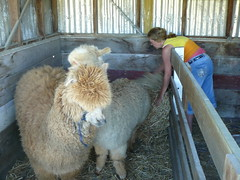 The day we stole Liz from the Hospital and round up some Alpacas - 039 (Just Rye Oh) Tags: newzealand hastings hawkesbay thedaywestolelizfromthehospitalandroundupsomealpacas