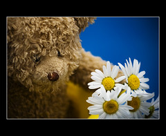 Teddy brings you flowers to celebrate 2009.... (.Tatiana.) Tags: flowers flores teddy sb600 daisy happynewyear felizanonovo swimingpool braganapaulista 10faves strobist 25faves duetos nacasadamami 20082009 teddynapiscina