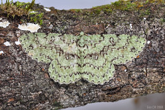 Ophthalmitis viridior, Geo Ennominae Boarmiini (Green Baron Pro) Tags: moth 200812 boarmiini frasershill ennominae geometridae malaysia buonavista