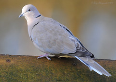 Collared Dove (Steptopelia decaocto).jpg (Tony Margiocchi (Snapperz)) Tags: wild bird nature natural dove wildlife birding common britishwildlife avian collared collarddove sigma500mm impressedbeauty steptopeliadecaocto tonymargiocchi nikond300 nikond300sigma500mmf45
