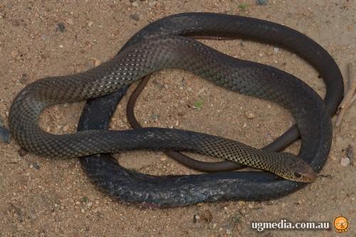 Roadkilled lesser black whipsnake (Demansia vestigiata)
