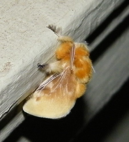 Wolly Moth