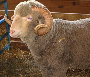 Curly Ram