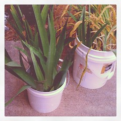 Iris and daylillies ready to plant!