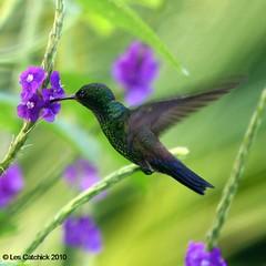Steely-vented hummingbird (Amazilia saucerrottei) (LPJC) Tags: costarica hummingbird lpjc amaziliasaucerrottei saucerottiasaucerrottei cerrolodge steelyvented amaziliasaucerottei