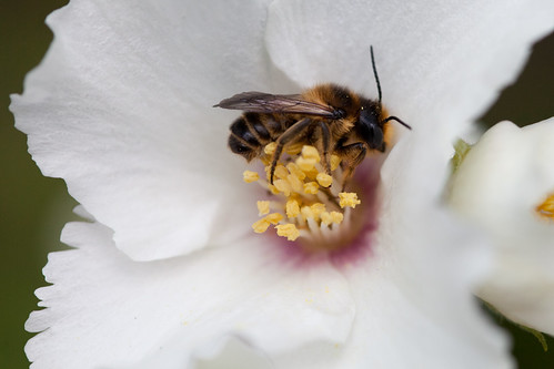 422/1000 - Bee on a mock orange flower by Mark Carline