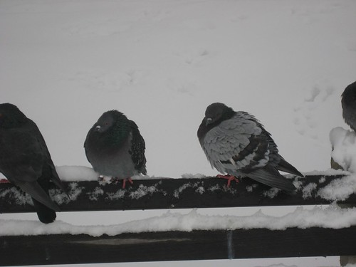 Picture 5: Cold Pigeons