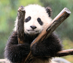 Zoomer loves the rain! (kjdrill) Tags: china california bear trees portrait usa baby cute wet water rain animal giant zoo cub panda sandiego bears explore climbing fv10 zoomzoom raining frontpage 500faves soe pandas pictureperfect goldenglobe littlestories supershot flickrsbest zhenzhen mywinners platinumphoto impressedbeauty fcawinner goldwildlife picswithsoul trueessence zhennie 5314a damniwishidtakenthat aboveandbeyondlevel1