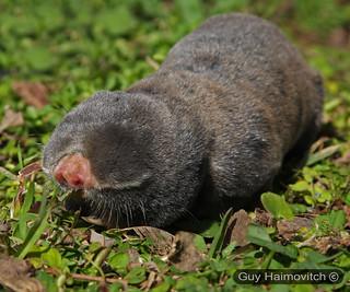 Middle East Blind Mole Rat (Spalax ehrenbergi) חולד ארצישראלי
