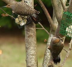 Flicker Pair (bison_bill_c) Tags: nature birds flicker aficionados myyard pentaxk10d