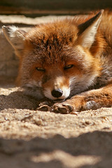 just relaxing in the sun (mad_airbrush) Tags: nature animals eos wildlife n 1d fox mk2 fuchs wildpark moritzburg mark2 1dmarkiin wildftterung wildftterungmoritzburg