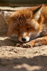 just relaxing in the sun (mad_airbrush) Tags: nature animals eos wildlife n 1d fox mk2 fuchs wildpark moritzburg mark2 1dmarkiin wildfütterung wildfütterungmoritzburg