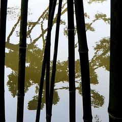 Parc de Maulévrier - Reflet et bambous nigra