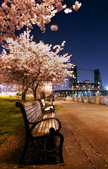 they also bloom by night (manyfires) Tags: longexposure film night oregon bench portland spring blossoms pdx steelbridge cherrytrees waterfrontpark nikonfm photooftheyear visualchronicle ybsjan09