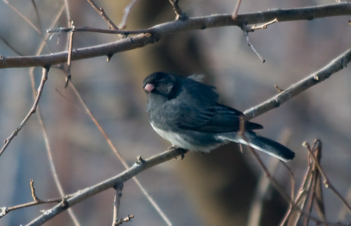 Dark-eyed Junco hasn't headed north yet