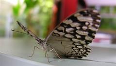 Borboleta no Escritório (Luiz Henrique Assunção) Tags: butterfly nikon borboleta coolpix 8800 licassuncao
