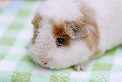 豚鼠 guinea pig by starhwa