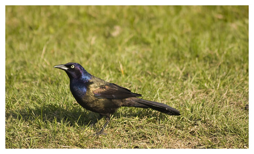 common grackle male. Common Grackle (male). (quiscalus quiscula)