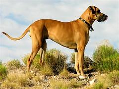 Looking for Rabbits (Laertes) Tags: dog greatdane dane oola