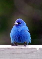 Juvenile Indigo Bunting (dmblue444) Tags: bird indigo bunting