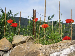 Alet Les Bains: garden poppies above a stone wall