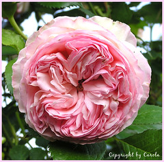 Eden85 rose close up (Boxwoodcottage) Tags: pink rose pierrederonsard eden85