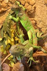 Iguana iguana (Dominique Lenoir) Tags: france animal zoo photo foto reptile leguaan lizard iguana provence fotografia iguaani iguane leguan lézard fotografía matelijat reptilia southfrance iguanaiguana hagedissen bouchesdurhône répteis reptielen barben lagartos reptilien greeniguana rettili iguanidae echsen grünerleguan reptila parczoologique 13330 iguanaverde lacertilia leguán legwan labarben iguanevert squamates groeneleguaan krybdyr parcanimalier ödlor kräldjur sáurios grönleguan saurópsidos leguánzelený vihreäleguaani leguaani legwanzielony lacertilios lacertuloj liskot dominiquelenoir