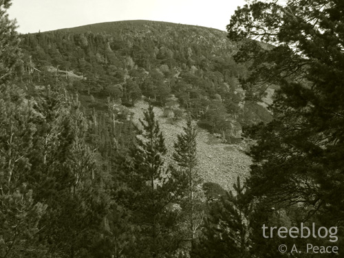 Caledonian pine woodland